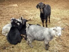 food2_goat